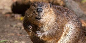 Adirondack Beaver Tales @ Indian Lake Library